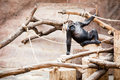 Gorilla is resting siting on a branches and looks thoughtfully Royalty Free Stock Photo