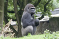 Gorilla silverback watching the group in zoo duisburg germany Royalty Free Stock Image
