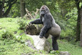 Gorilla silverback in zoo duisburg germany Stock Images