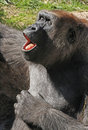 Gorilla sitting female close up with singing expression Royalty Free Stock Images