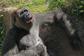 Gorilla sitting female with singing expression Royalty Free Stock Photo