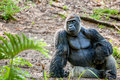 Gorilla sitting in the jungle Royalty Free Stock Images