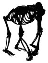 Gorilla skeleton silhouette isolated on white Stock Photos
