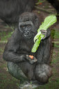 Gorilla small in your lunch hour Stock Photography