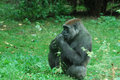 Gorilla Snacking on Young Leaves