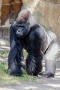 Gorilla stakes out his territory strong ground Royalty Free Stock Photography