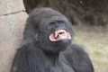 Gorilla teeth Royalty Free Stock Images