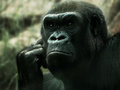 Gorilla in thought appearing to be deep Stock Images