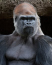 Gorilla tough guy silverback lowland showing who s the boss Stock Photo