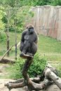 Gorilla on tree Royalty Free Stock Photos