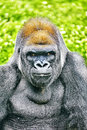 Gorilla wisdom in its natural habitat in the wild Stock Images