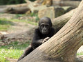 Gorilla youngster a behind a tree Royalty Free Stock Photo
