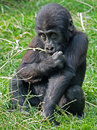 Gorilla youngster portrait of a sitting in the grass Stock Images