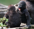 Gorilla youngster youngsters playing with each other Royalty Free Stock Photos