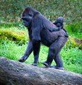 Gorillas gorilla breeding with her mother Royalty Free Stock Photography