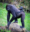 Gorillas gorilla breeding with her mother Stock Photos
