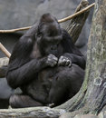 Gorillas Socializing Stock Image