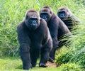 Gorillas On A Trail