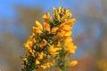 Gorse bush Royalty Free Stock Photo