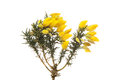 Gorse flowers and foliage Royalty Free Stock Photo