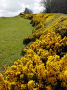 Gorse Royalty Free Stock Photo