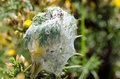 Gorse spider mite tetranychus lintearius mites and web on it is used as an agent of biological pest control on common a noxious Stock Image