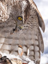 Goshawk eating its hunted prey northern accipiter gentilis a partridge on a snowy ground Royalty Free Stock Images