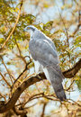 Goshawk in forest on wood trunk Stock Image