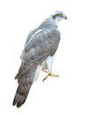 Goshawk isolated over white accipiter gentilis Royalty Free Stock Photo