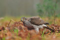 Goshawk photo of standing on the ground Royalty Free Stock Photos