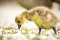 Gosling Royalty Free Stock Images