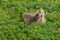Gosling in a bed of ground ivy Stock Photos