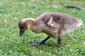 Gosling little cute eating grass Royalty Free Stock Image