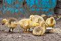 GOSLINGS Stock Image