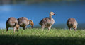 Goslings eating grass near the lake shore Royalty Free Stock Image