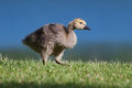 Goslings eating grass near the lake shore Stock Images