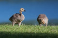 Goslings eating grass near the lake shore Stock Photo