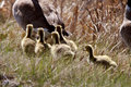 Goslings following Canada Goose Stock Image