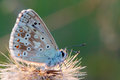 Gossamer winged butterfly blue in the evening sun with blurred background Stock Photography