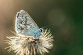 Gossamer winged butterfly blue in the evening sun with blurred background Stock Image