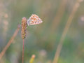 Gossamer winged butterfly blue in the evening sun with blurred background intended blurredness Royalty Free Stock Image