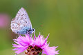 Gossamer winged butterfly blue on a flower looking to the right green soft bokeh Stock Photo