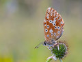 Gossamer winged butterfly blue in the morning with blurred background Royalty Free Stock Image