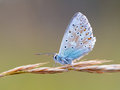 Gossamer winged butterfly blue in the morning sun with blurred background intended blurredness Royalty Free Stock Image