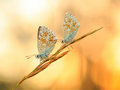Gossamer winged butterfly blue in the morning sun with blurred background intended blurredness Royalty Free Stock Images