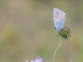 Gossamer winged butterfly close up macro of a blue in the evening with intended blurred background and lovely bokeh Stock Image
