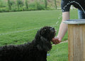 Portuguese Water Dog Catching ...