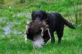 Got the game black labrador gamedog retrieving female pheasant west coast south island new zealand Stock Images