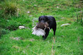 Got the game black labrador gamedog retrives a pheasant on west coast of new zealand Royalty Free Stock Images