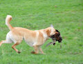 Got the game golden labrador gamedog retrieving female pheasant west coast south island new zealand Royalty Free Stock Image